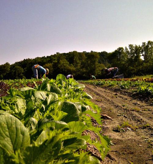 NY.Denison.HarvestingGreens.jpg