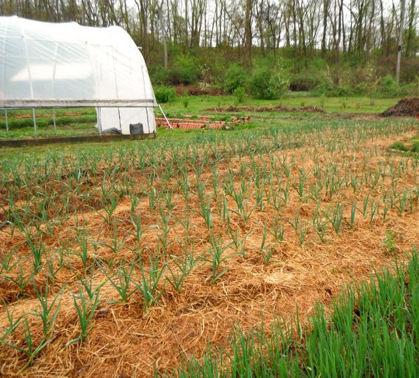 PA.Grassroots.garlic_hoop.jpg