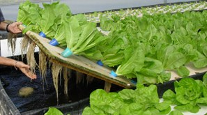 Lettuce_in_raft_aquaponics.jpg