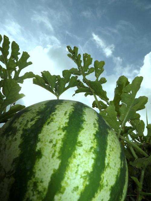 MoonDogFarmswatermelon(c)BarbaraSavantSmith_(1).jpg