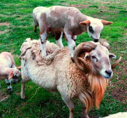 Goat_-_piggy_back.jpg