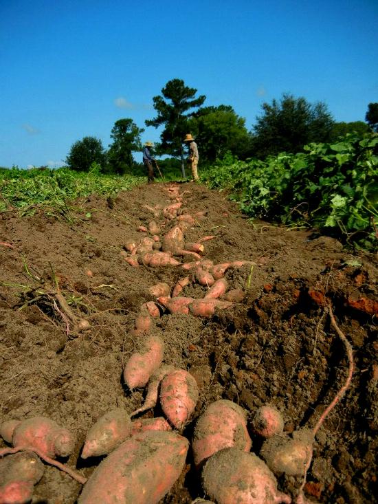 FL.FullEarth.DiggingSweet_Potatoes.jpg
