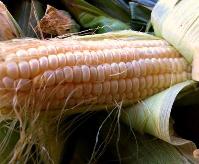 TX.TerraPreta.Corn.jpg