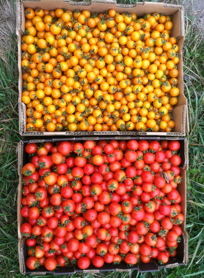 SteelWheel_Tomatoes.jpg