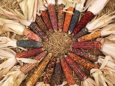 dent_corn.jpg