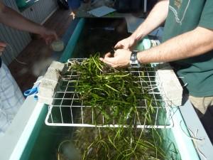 Eelgrass_restoration_P1020687-300x225.jpg