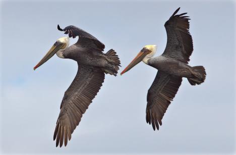 pelican_orange_county.png