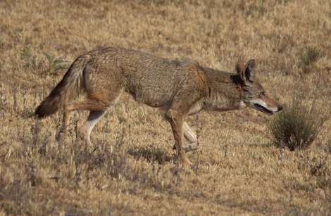 coyote_orange_county.png