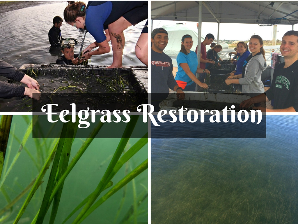 Join the eelgrass movement