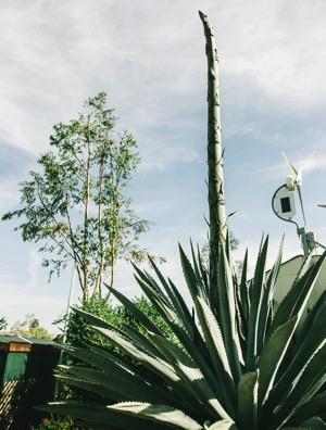 agave-plant2.jpeg