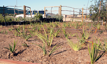 Douglas Irises planted along entryway