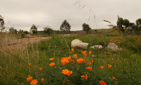 Our state flower, the CA poppy, is in bloom!