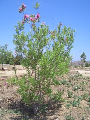 Desert Willow in bloom
