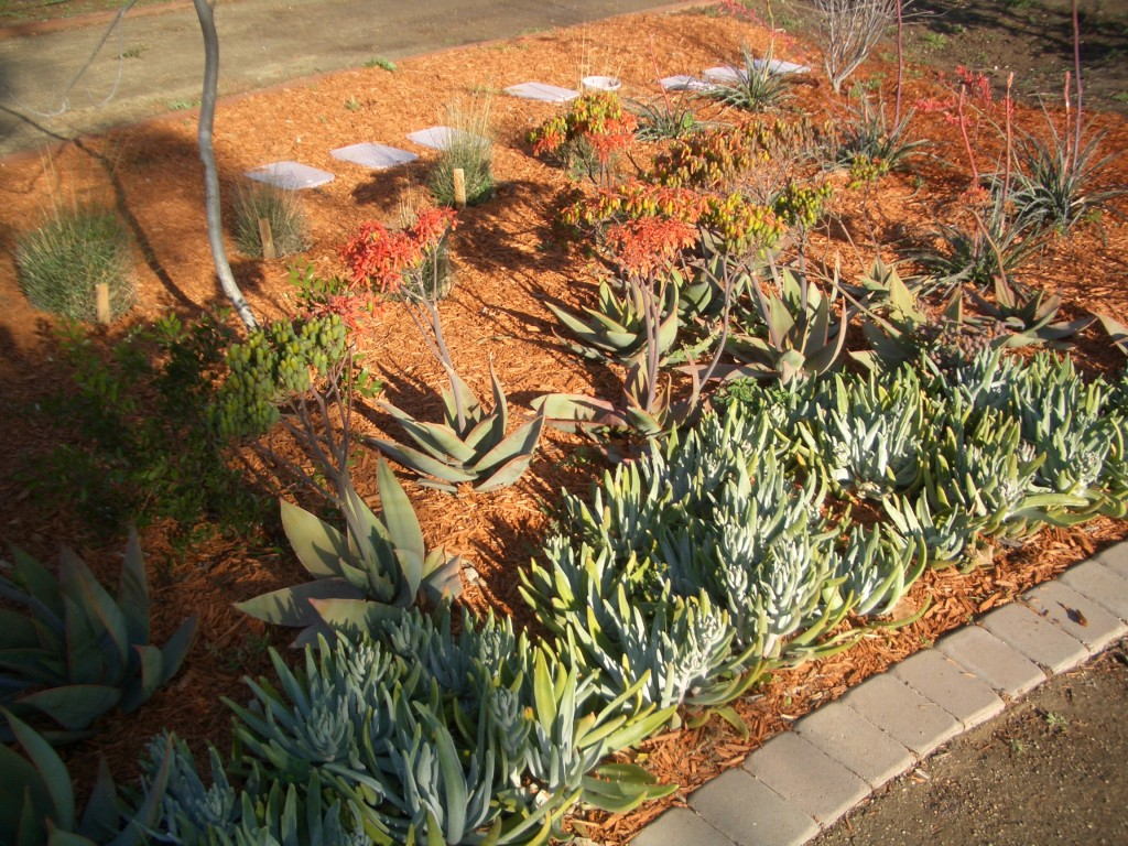 Dudleya and noble aloe in front of ranch vignette