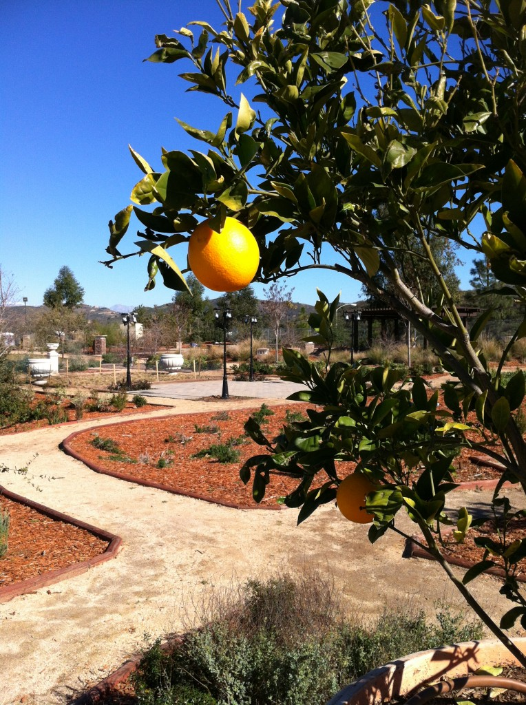 The first fruits from our Dwarf Valencia Orange trees