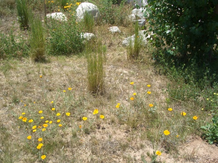 Deer Grass and California Poppy along dry creek bed
