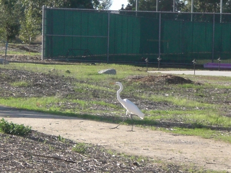 A Great White Egret stops by to say hello!