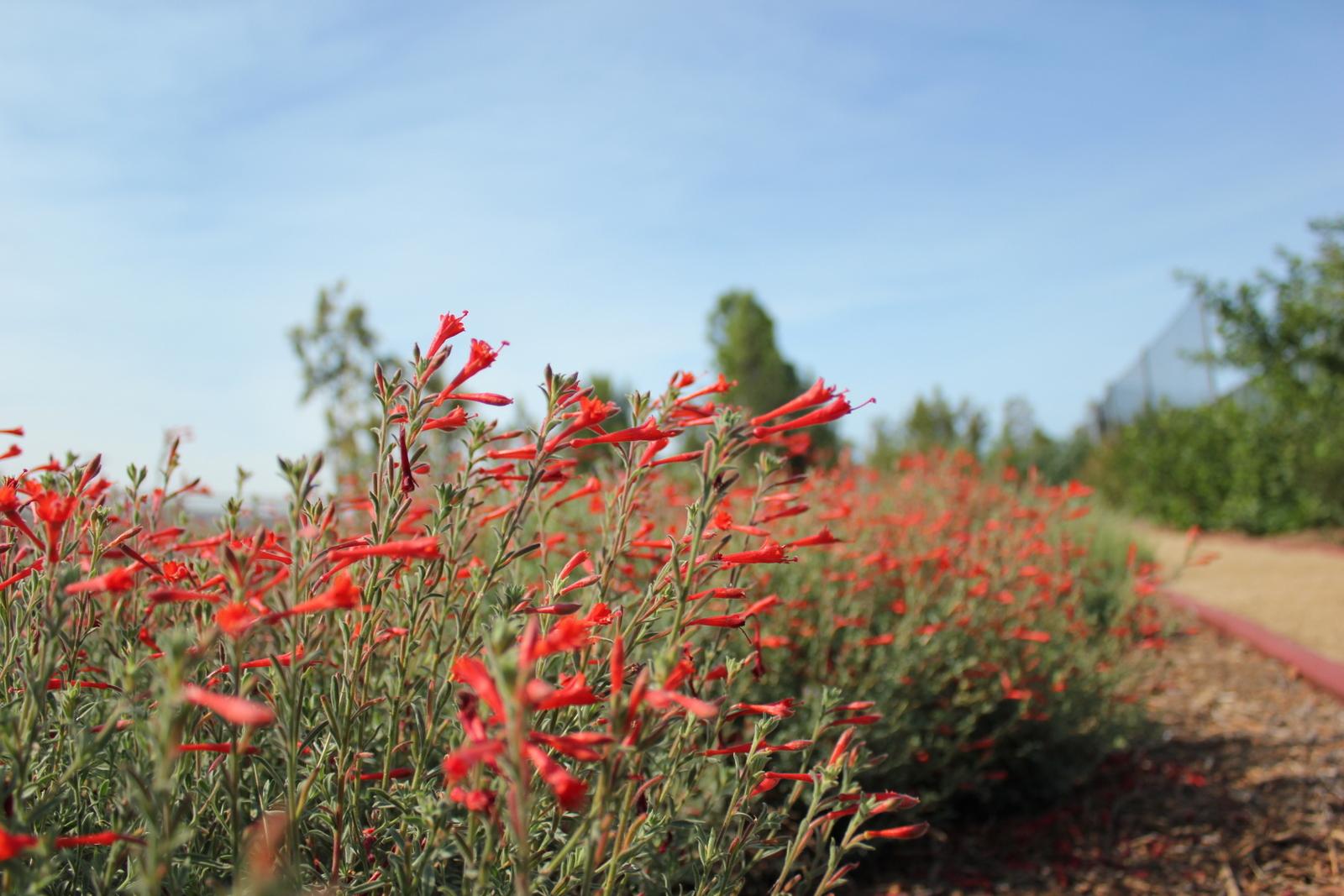 California Fuchsia in the chaparral habitat.