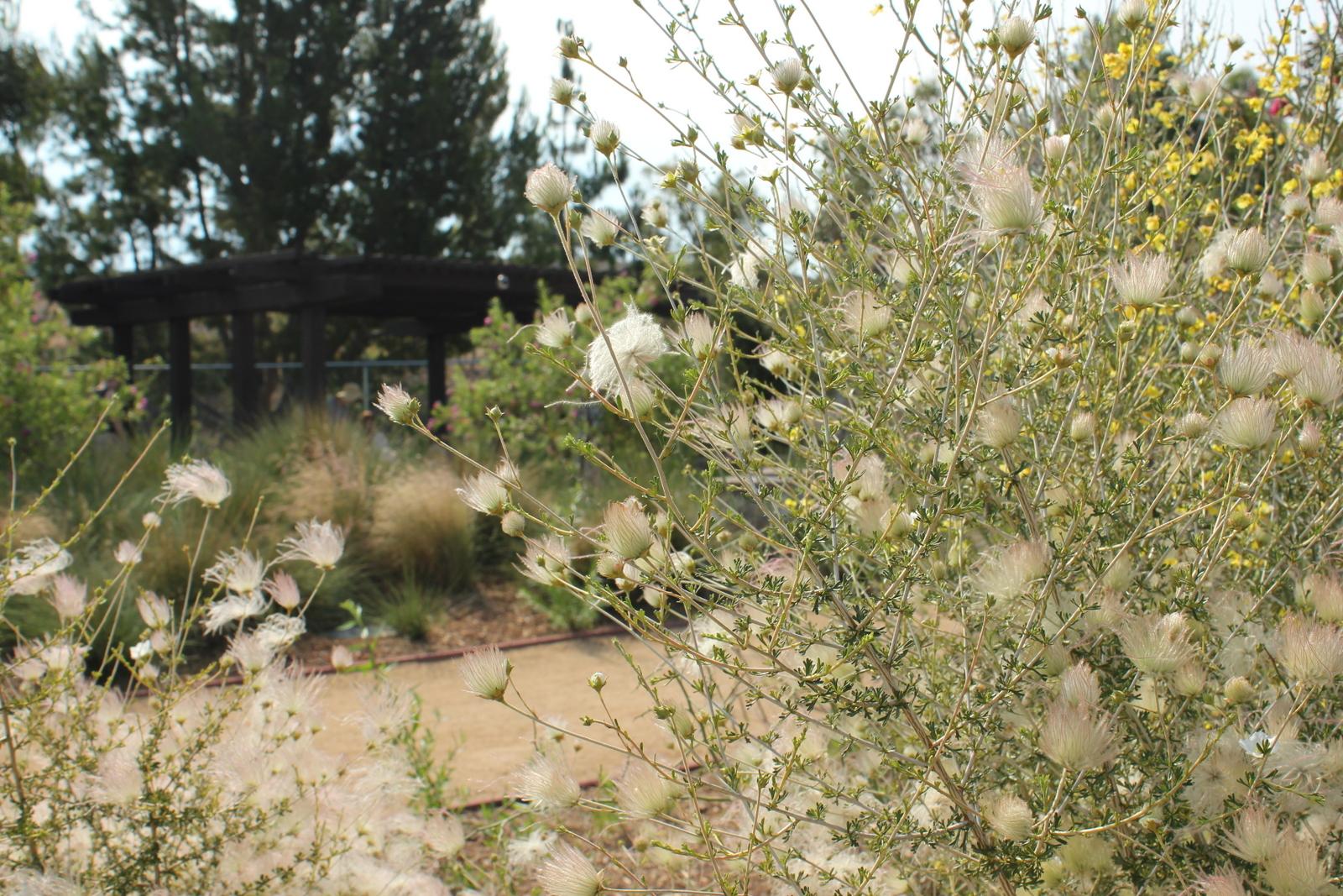 Apache plume in the desert habitat.