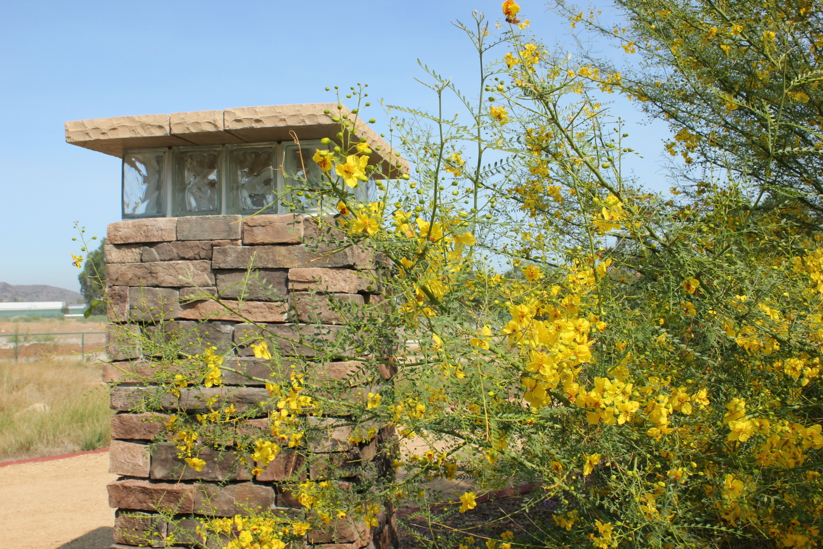 Blue Palo Verde in bloom at the entrance of the ranch vignette.