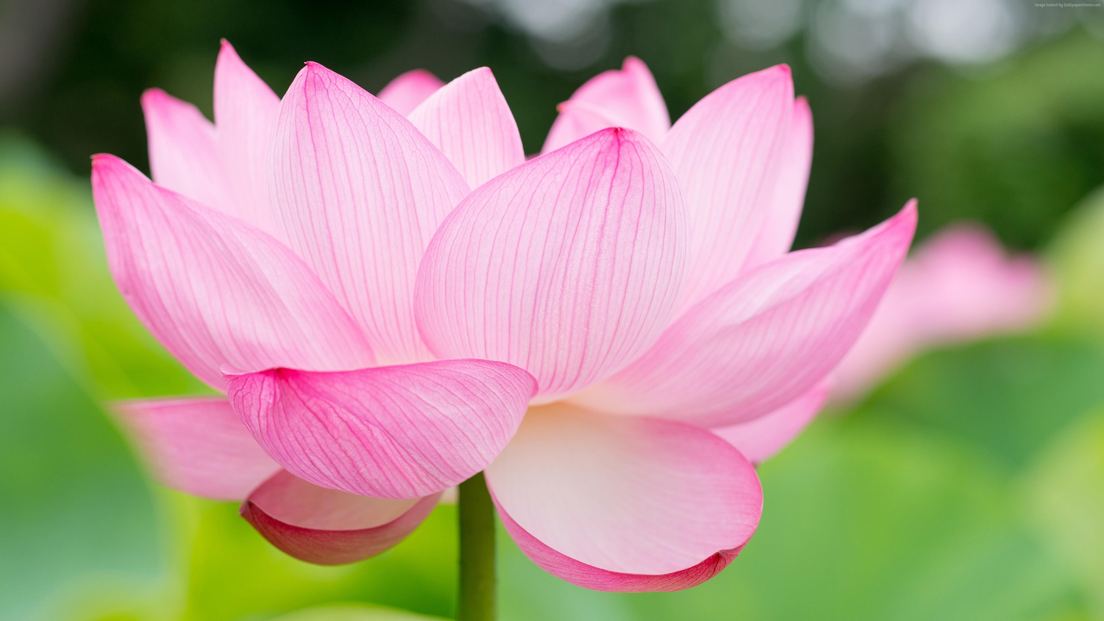 lotus-3840x2160-flower-4k-16051.jpg