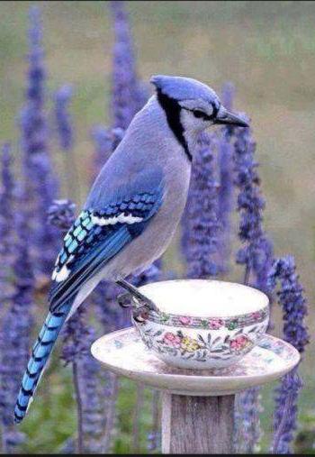BluebirdTeacup.jpg