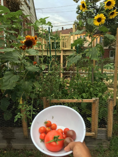 Black hand holding up a bowl of big and small red tomatoes in front of a garden with tall sunflowers and tomatoes.