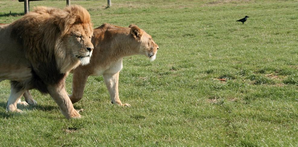 lions-walk-in-left-side.jpg
