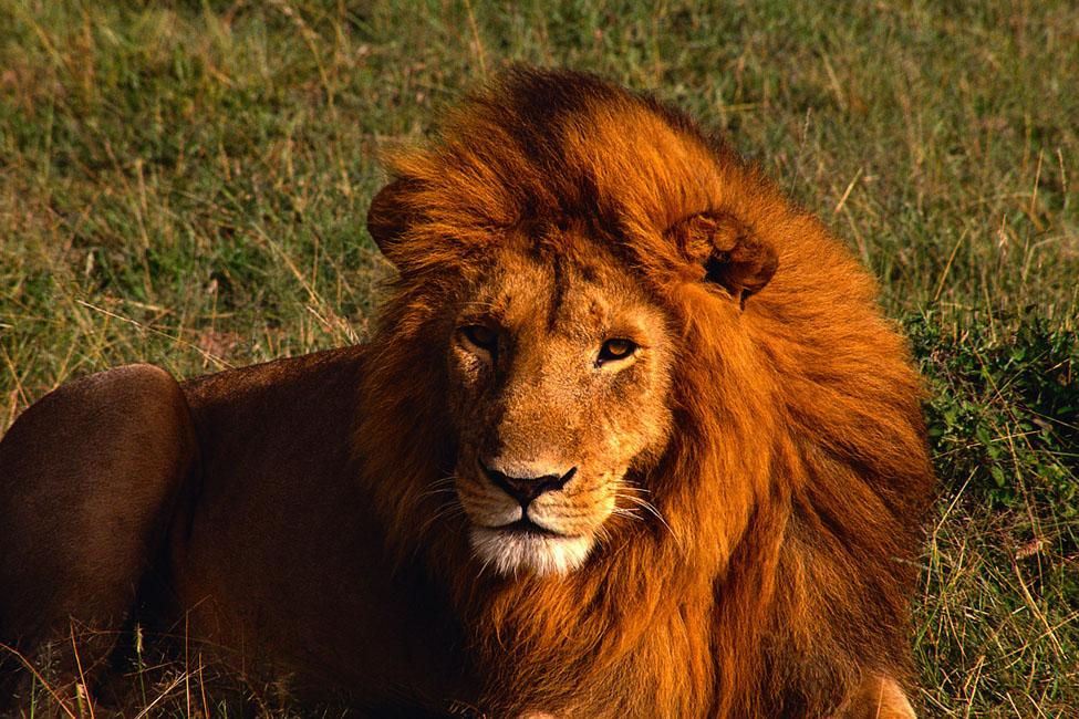 windblown_lion.jpg