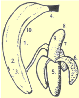 drawing of banana with numbered highlights matching list on left