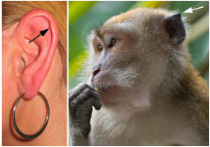 photos of human ear and primate ear