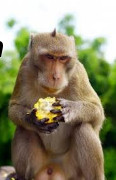 photo of primate eating fruit