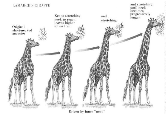 short necked giraffe stretched neck to reach more leaves