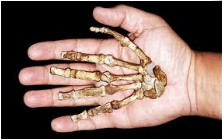 photo of fossil hand bones in larger human hand ...