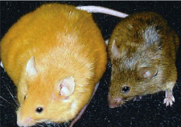 photo of obese yellow mouse with thin brown offspring