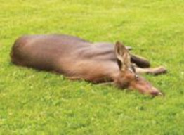 photo of moose that died minutes after being trapped within a fence