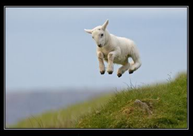 sheep in mid-air above pasture