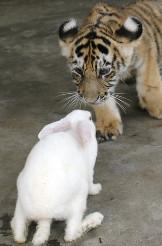 photo of tiger cub approaching a rabbit