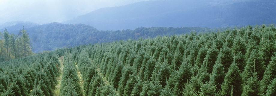 photo of rows of young trees on a Christmas tree farm