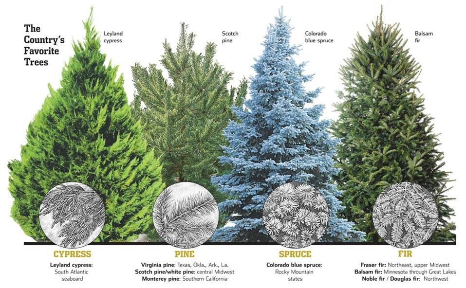 image of popular species of Christmas trees