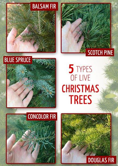 photos of needles of three types of fir, Scotch pine, and blue spruce trees