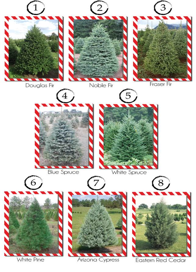 photos of Douglas, Noble, and Fraser fir trees, blue and winter spruce trees, white pine, Arizona cypress, and eastern red cedar trees