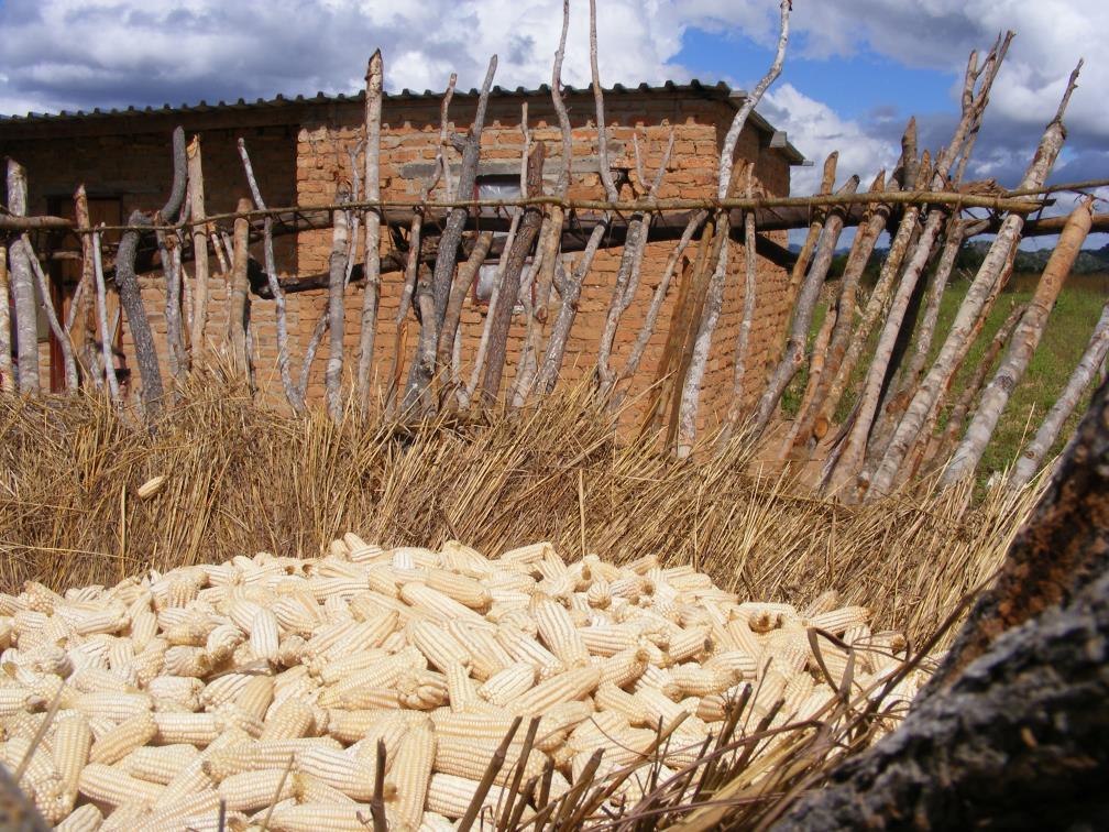 photo of dried corn