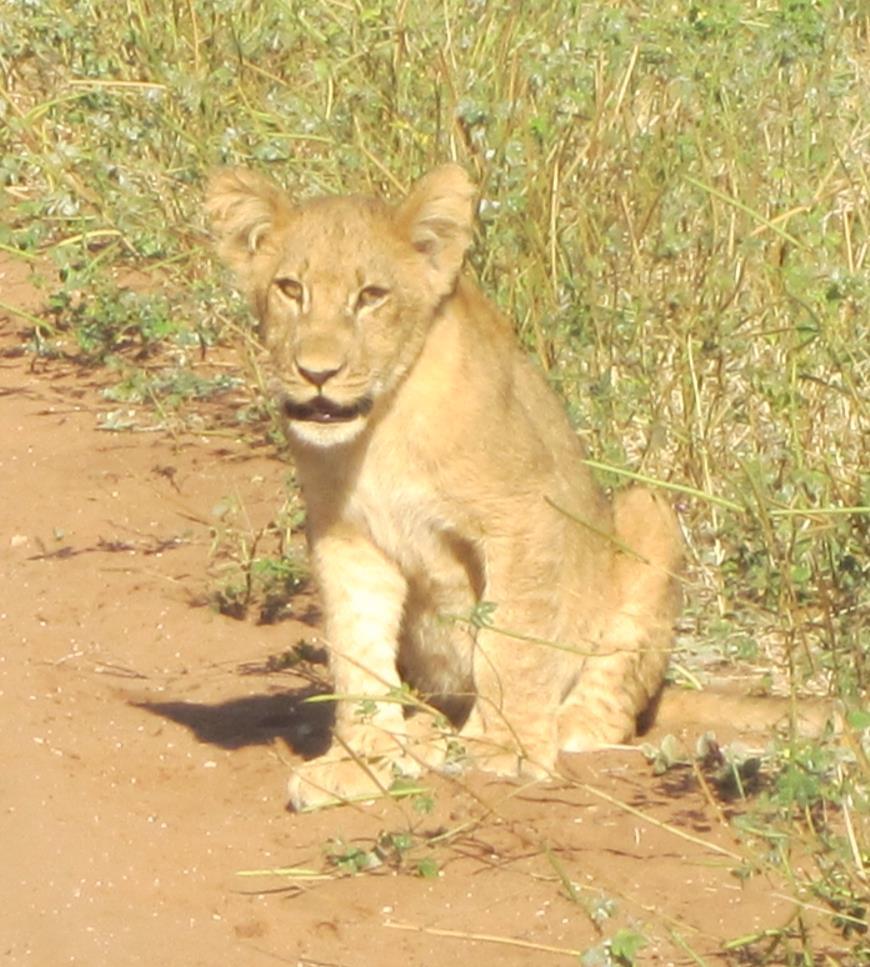 photo of a lion cub