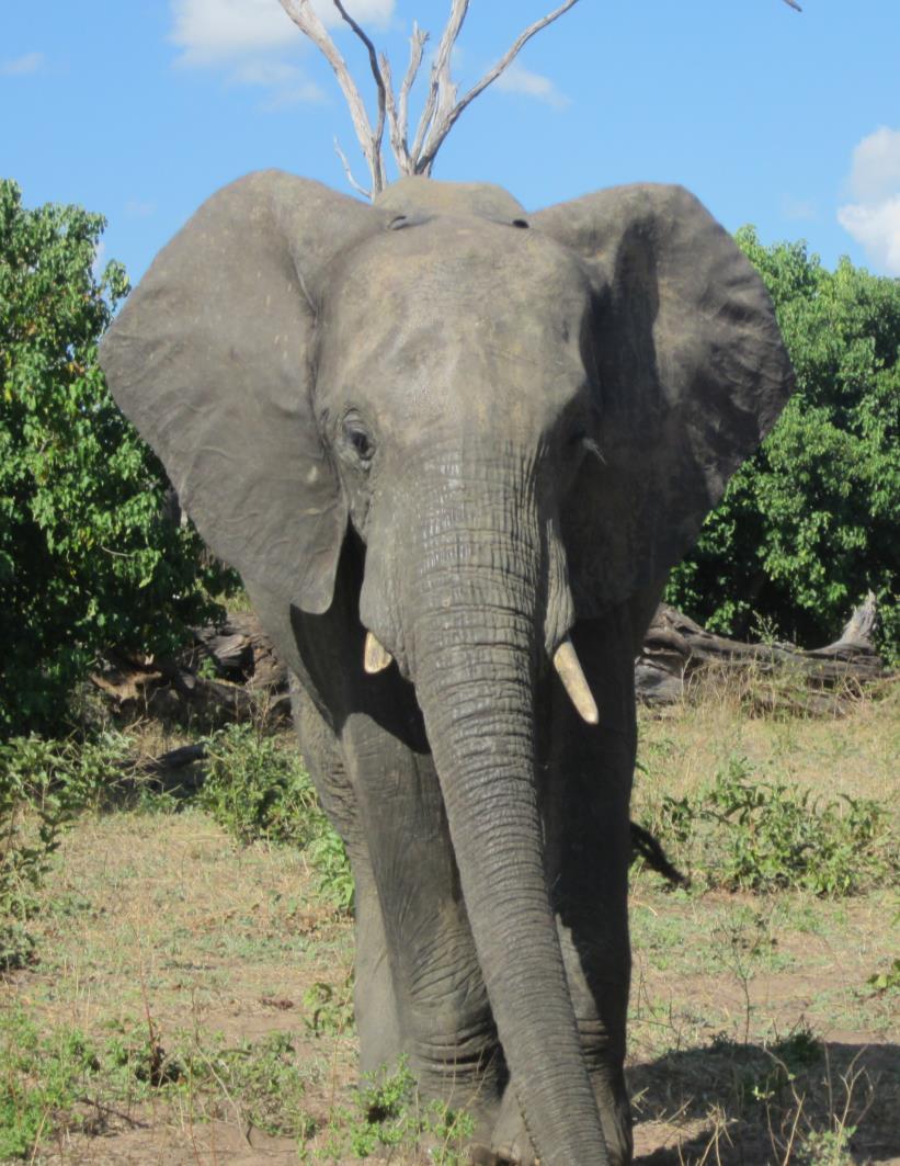 photo of a elephant