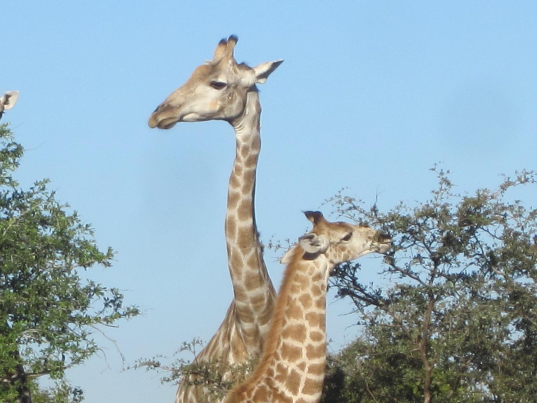 photo of giraffes