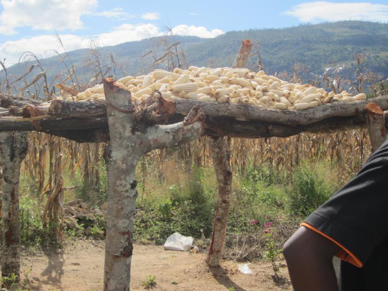 photo of corn on drying rack