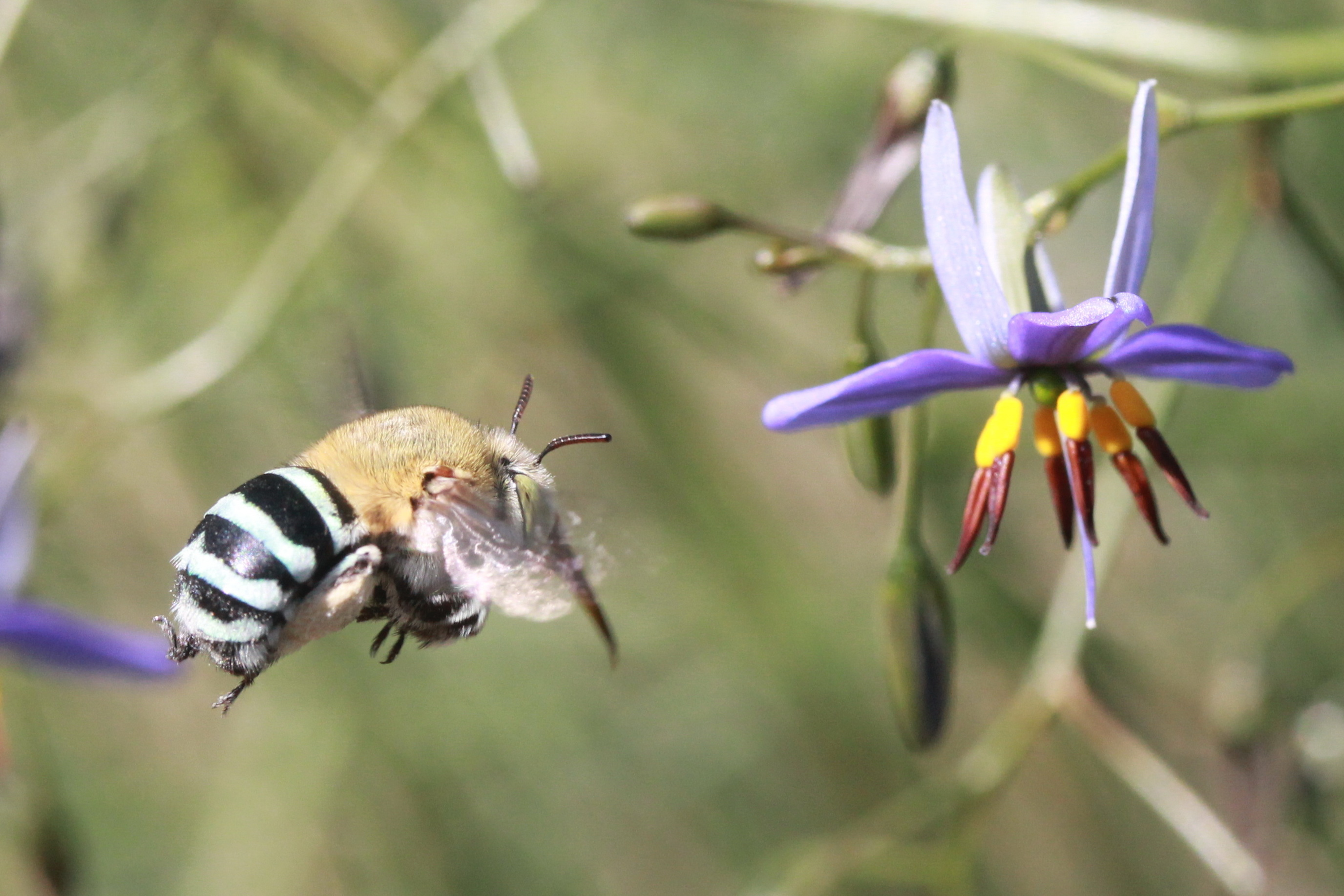 Blue_Banded_Bee.jpg