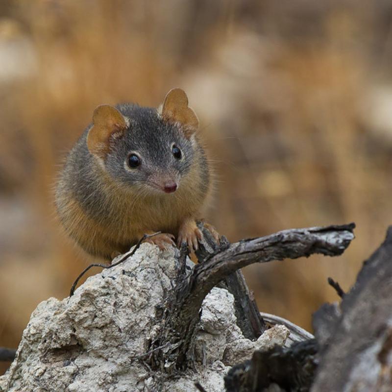 Biodiversity Blog: Devilish Dasyurids