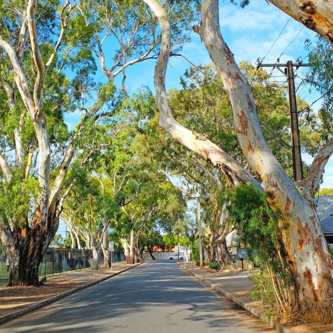 Major report launched on the future of Adelaide's trees